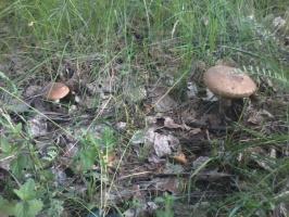 Первые летние грибы