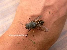 Вот это муха !!!! (слепень)