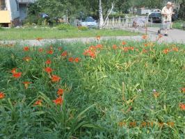 Лилии на газоне