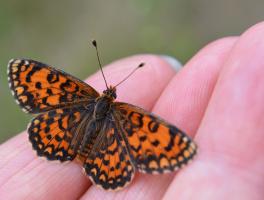 Бабочка на моей руке... (+ 2 фото)