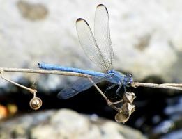 """""""Лето... ласточки... и грозы... голубая стрекоза... под напором капель грозных прячет сны мои и грёзы, завернув в кувшинки прозу, а стихи укутав в розу, улетает навсегда... """""""