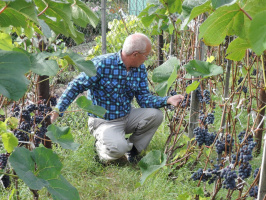 Виноград созрел