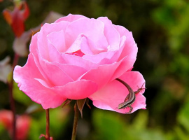 На лепестке розы... (2 снимка)