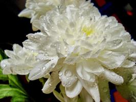 Весенняя хризантема