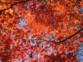Полыхнула осень кленом...
