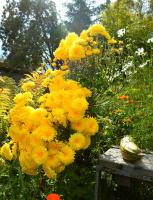 """Хризантемовый """"цветопад""""! Или (случайно...) натюрморт с кабачком. Август 2015."""