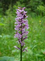 Северная орхидея