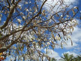 Баухиния отцветает в мае (2 снимка)