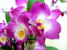 Орхидея Nobile