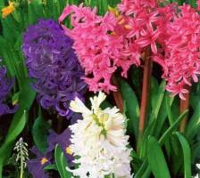 Гиацинт - примета весны