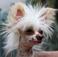 Китайская хохлатая собака. Голышка с пышной шевелюрой!