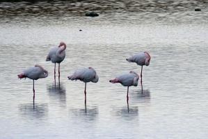 Почему фламинго спит в воде, поджав одну ногу?