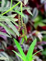 Гусеницы бабочки данаиды большой монарх
