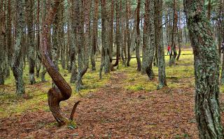 Пьяный (танцующий) лес.