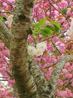 Белая сакура на фоне розовых подруг (Окно в трёхмерный мир) - стоит смотреть в увеличении
