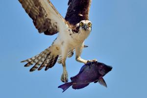Аруба. Хищная птица скопа поймала рыбу на коралловом рифе на маленьком острове в Карибском море.