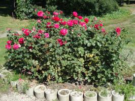Розы, ах, розы . . .