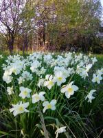 Нарциссовые россыпи в заброшенных садово-огородных участках за городом.