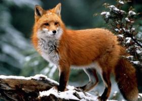 Как лисы избавляются от блох?