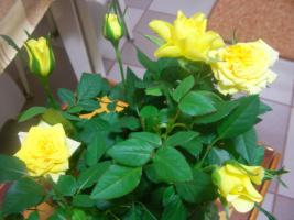 Роза кордана желтая