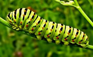 У махаона все прекрасно - и бабочки, и гусеницы :))))