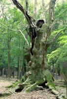 Битва лесных великанов