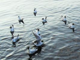 Чайки в Онежском озере.