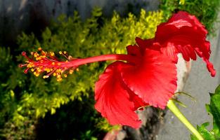 суданская роза...