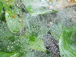 Паутинка в росе