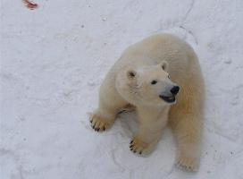 Почему белые медведи не впадают в зимнюю спячку?