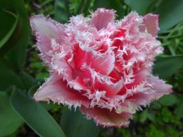 Вот такой тюльпан