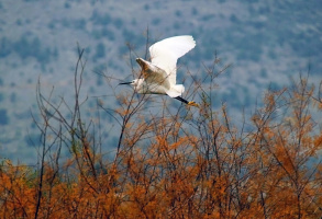 Полёт малой белой цапли