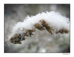 колосок под первым снегом