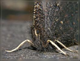 Траурница (Nymphalis antiopa L.)