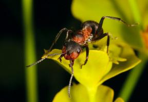 Негостепримный муравей