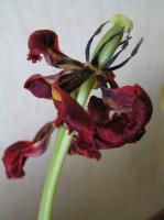 Увядающий тюльпан