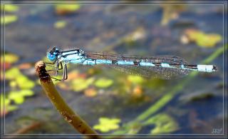Стрелка голубая (Enallagma cyathigerum) Самец.