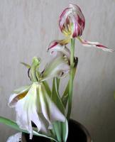 Красота увядающих цветов