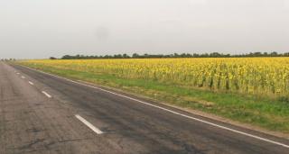 Украинские подсолнухи