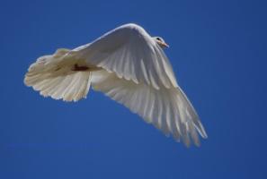 защищая крылом