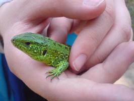 Живая природа. Фотка не совсем в тему к цветам, ну уж очень прикольная. Это ящерица в руках у моего сына. Правда, красотка?