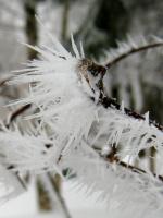 снежно-колючая...