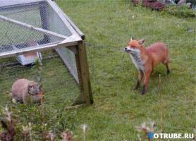 умная лисичка