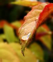 Умытая роза