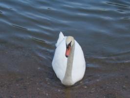 Лебедушка!!!!