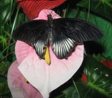 На выставке тропических бабочек-1