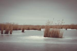 Камыш во льду
