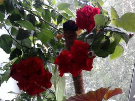 Роза..