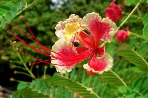 цветок кустарниковой акации..