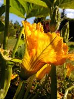 Цветение тыквы